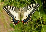 ONTOGENESES PAPILIO MACHAON 2019