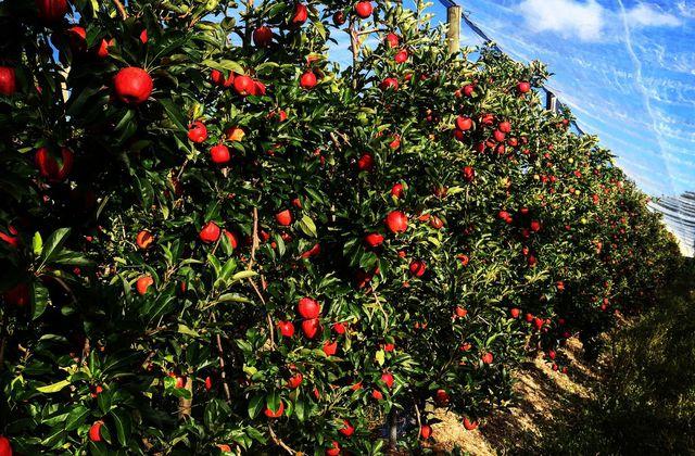 Des pommes et des poires : saison 2017. Des gros pépins, de la couleur, du sucre et peut-être aussi du lucre.