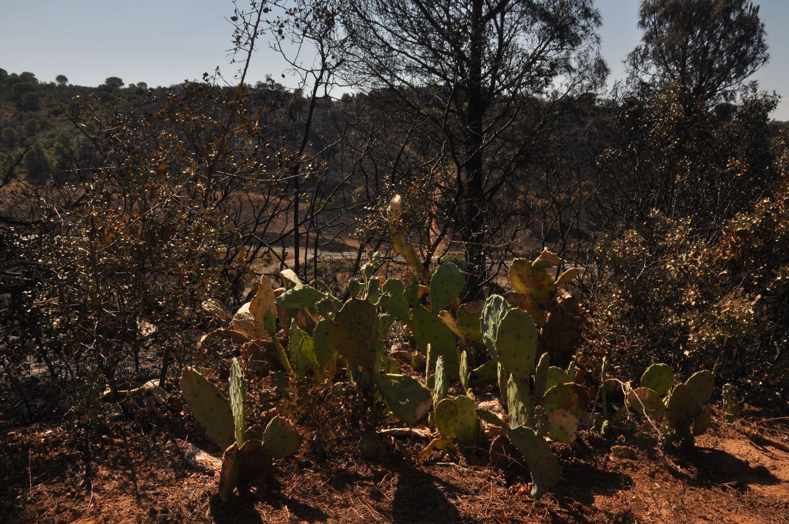 Les cactus, toujours vert pour quelques'uns