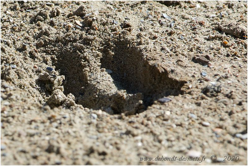 Le wapiti est un ongulé artiodactyle ; il marche sur la pointe de ses quatre doigts, garnis de sabots.