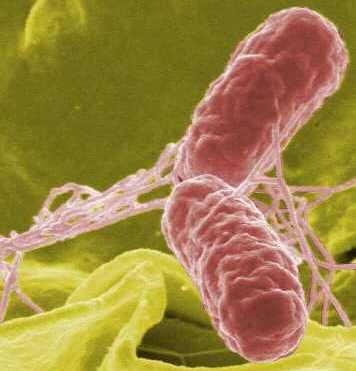 Salmonella definition francais
