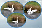 Evolutions d'un cygne en parade