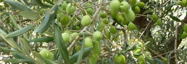 Olives vertes au sel