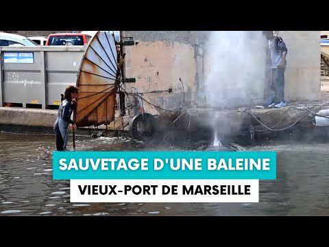 Insolite | Vidéo - Une baleine coincée à l'entrée du Vieux-Port de Marseille secourue par les marins-pompiers