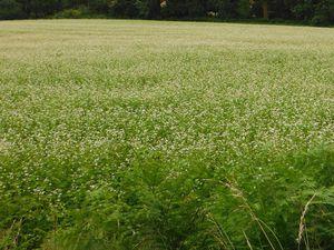 Même champ, dates différentes (5 juillet et 16 août), entre Saint-Sauveur-le-Haut et le Vaublanc, commune La Prénessaye..