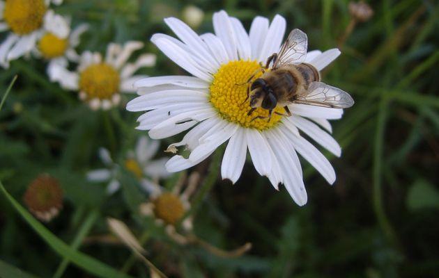 Mouches ou abeilles ?