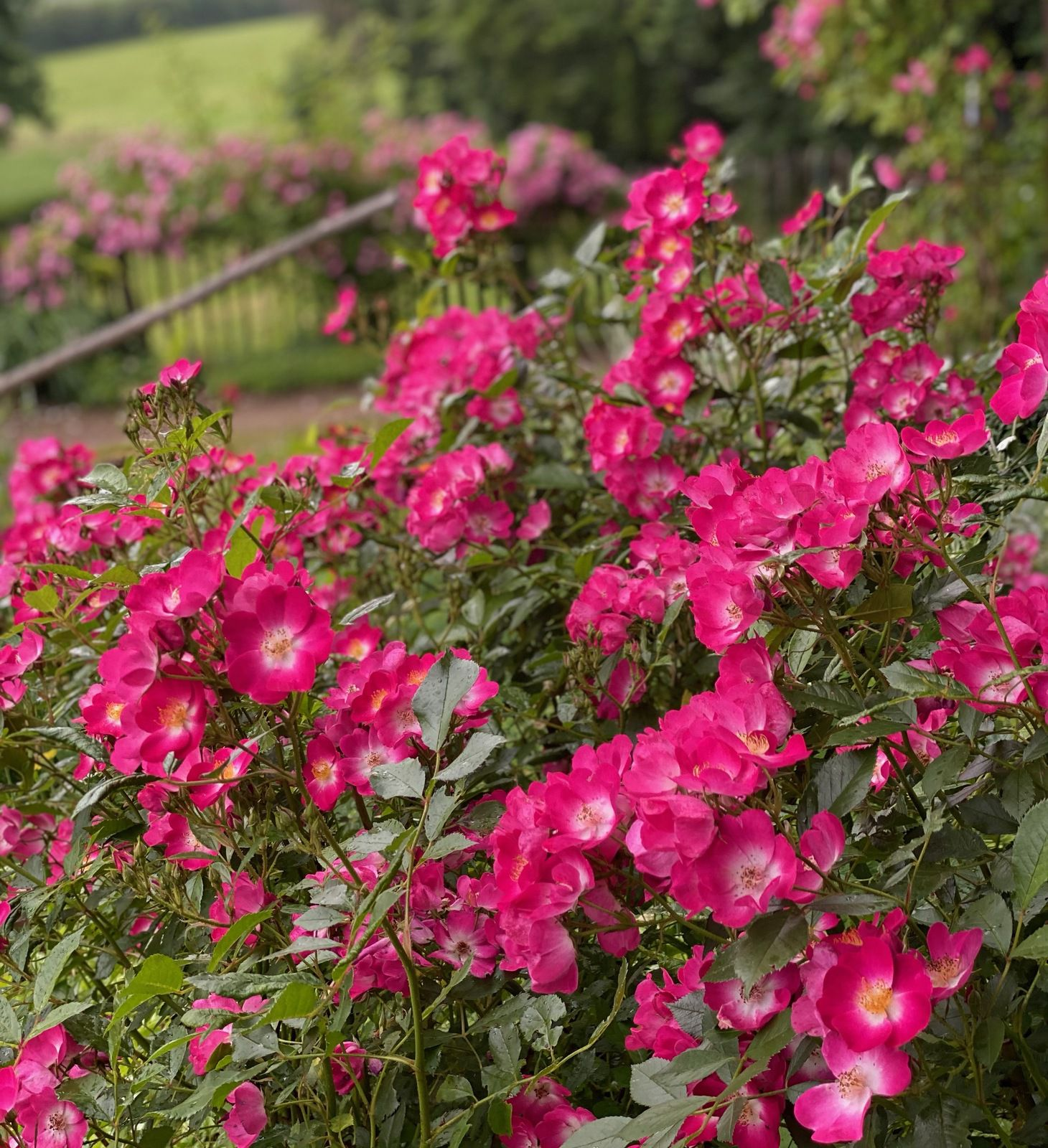 Grand Duc Jean - Lens Roses, 2010