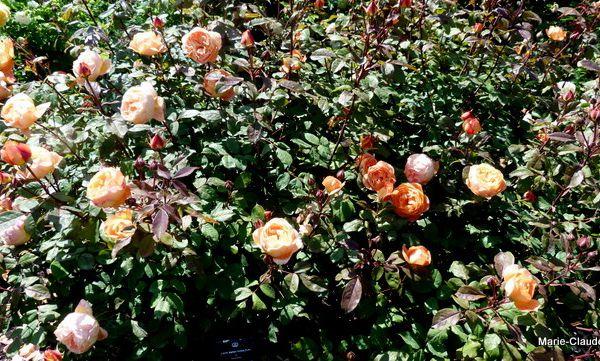 Rosier 'Lady Emma Hamilton', une couleur mandarine et un très joli feuillage vert très foncé,