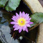 Fleurs du jour (10) - Noy et Gilbert en Thaïlande