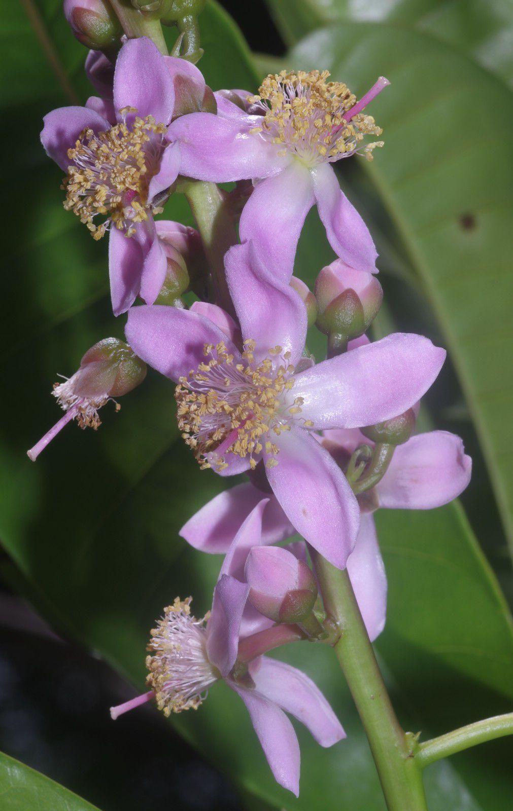 Mahurea palustris