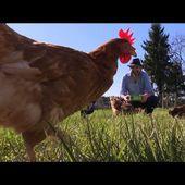Des poules en maison de retraite pour échapper à l'abattoir