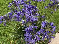 Potées en camaïeu de bleu, Agapanthes, Hortensisas, fleurs d'Aïl. BdC - juillet 2021