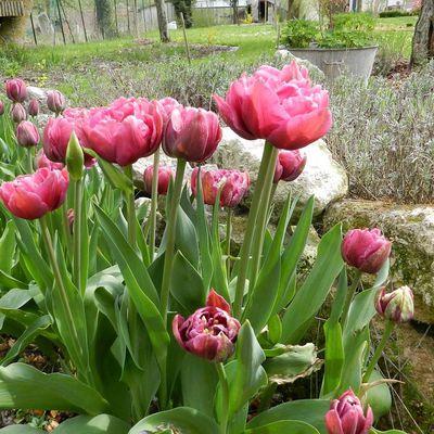 Les vidéos de mon jardin : Les tulipes