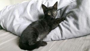 Minnie, chaton femelle noire, à l'adoption -> adoptée