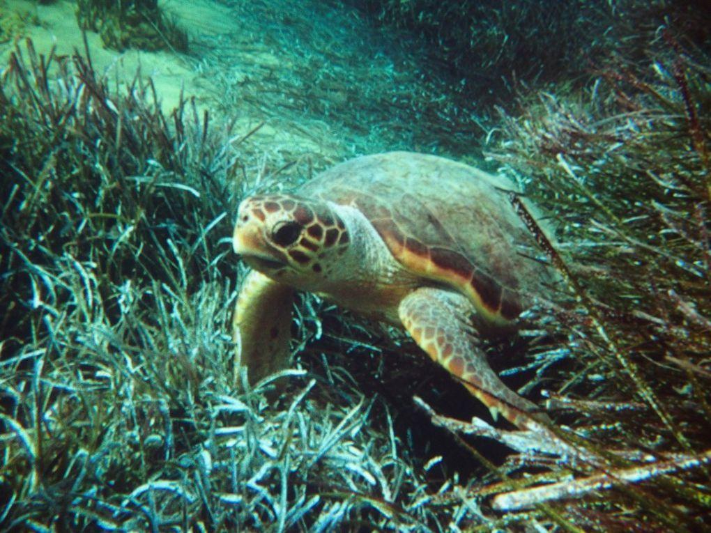 """la tortue """"Caouanne"""" et les bébés sortant du nid ...(photos de photos !!)"""