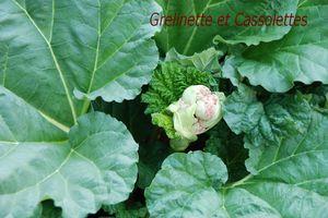 Fleurs de Rhubarbe