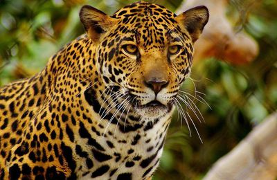Animaux - Jaguar - Félin - Regard - Faune - Photographie - Wallpaper - Free