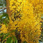 Les Ratchaphruek à Takian Tiah - Fleur du jour (20-10) - Noy et Gilbert en Thaïlande