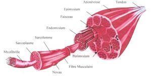 La constitution du muscle