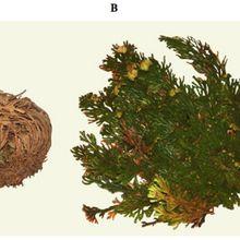 Glané sur la toile (41) : « Des plantes qui ressuscitent pour résister à la sécheresse »