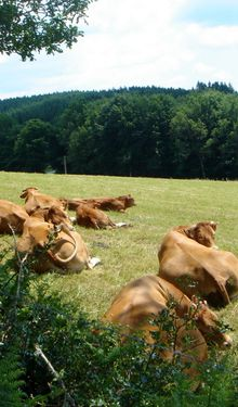 Mille vaches