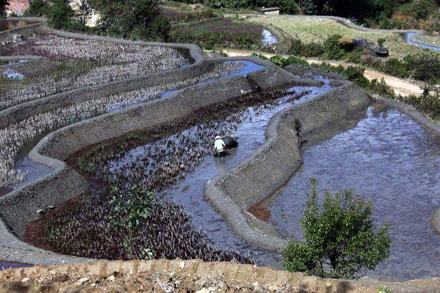les rizières en terrasse Yuan Yang, Yunnan
