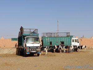 Le marché aux dromadaires de Guelmim  (Maroc en camping-car)