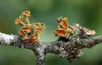 """Et si la manne de la Bible n'était autre que le lichen Lecanora esculenta ?... -""""Le lichen est à savourer""""..."""