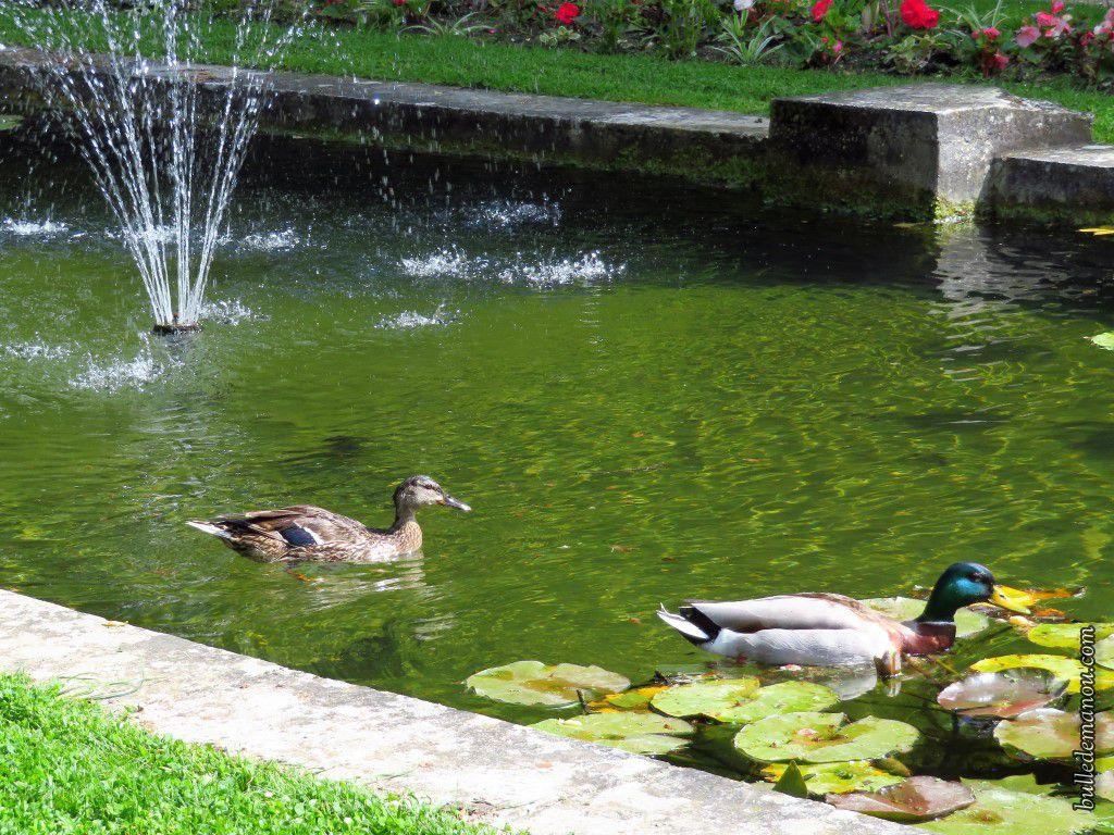 Le couple de canard colvert dans le bassin de l'entrée