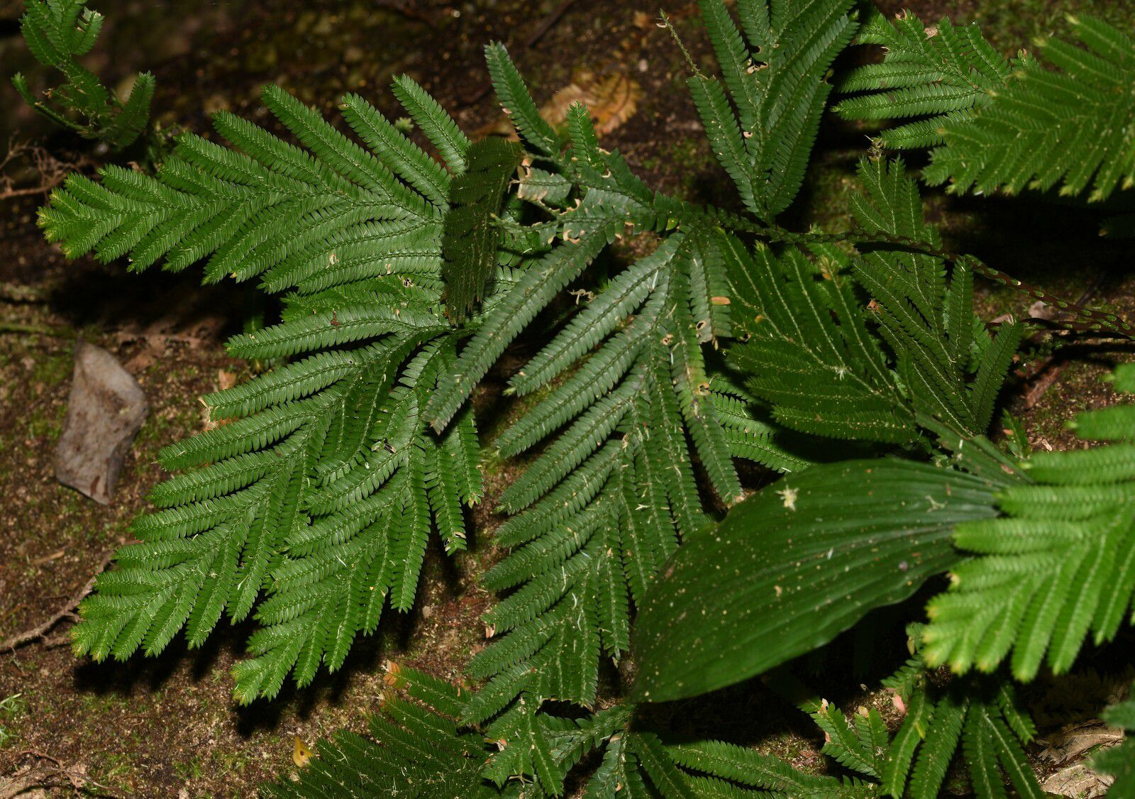 Selaginella parkeri