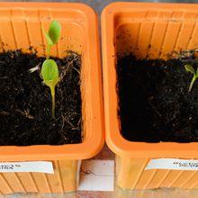 Semis de bleuets ( ou centaurée bleue) dans le micro jardin urbain, premier essai