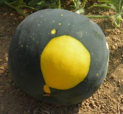 Photo d'un pastèque Lune Etoile sur le site de Semailles