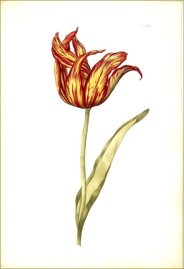 """13a """"La Tulipe nommée flamboyante"""", planche du manuscrit de La Guirlande de Julie, v.1641, parchemin, folio 50r ©Paris, BnF"""