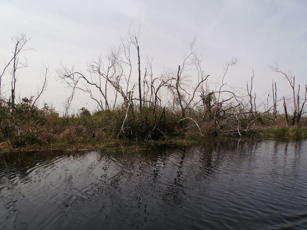 Le marais est situé au-dessus d'une tourbière préhistorique qui continue de relâcher du méthane. Les orages, fréquents dans la région, l'enflamment parfois et c'est tout le marais qui brûle. Nous voyons ici les résultats du dernier gros incendie qui l'a ravagé en 2011 et qui a duré presqu'un an. Ici, cet événement naturel, permet de maintenir  l'écosystème du pin à longues feuilles, espèce locale en danger.