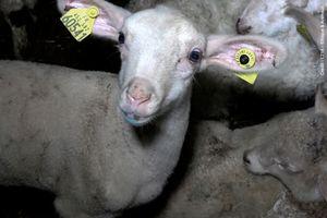 Bonne nouvelle : la mise en place d'une expérimentation de la vidéosurveillance dans les abattoirs est confirmée