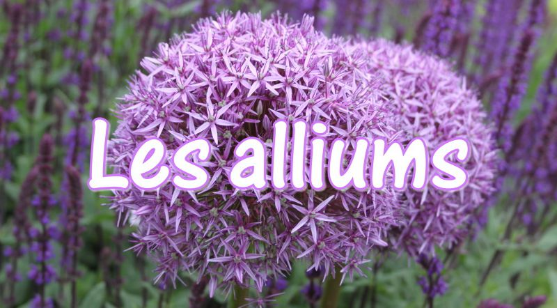 Les ails d'ornements (allium)