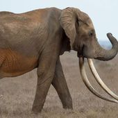 Poachers kill rare giant elephant Satao II in Kenya