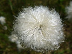 Linaigrette engainante, Eriophorum vaginatum