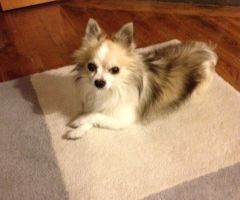 RETROUVE - Chihuahua - 9 ans - Providence ABYMES