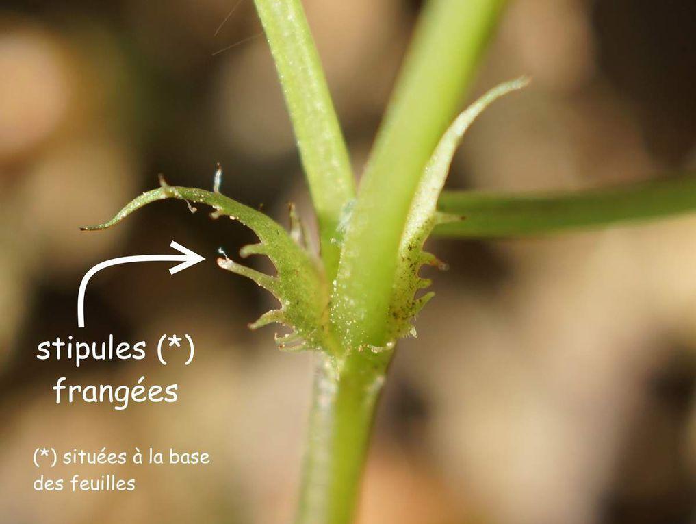 Les fleurs sont très odorantes,portées par des pédoncules naissant à l'aisselle des feuilles de rosettes terminant un rhizome. Les stipules ovales 1 à 4 fois plus longues que larges à franges courtes. Le calice à divisions ovales. La corolle est dialypétale (pétales libres), de type 5 (5pétales et 5 sépales), violet foncé à éperon violet recourbé vers le haut.