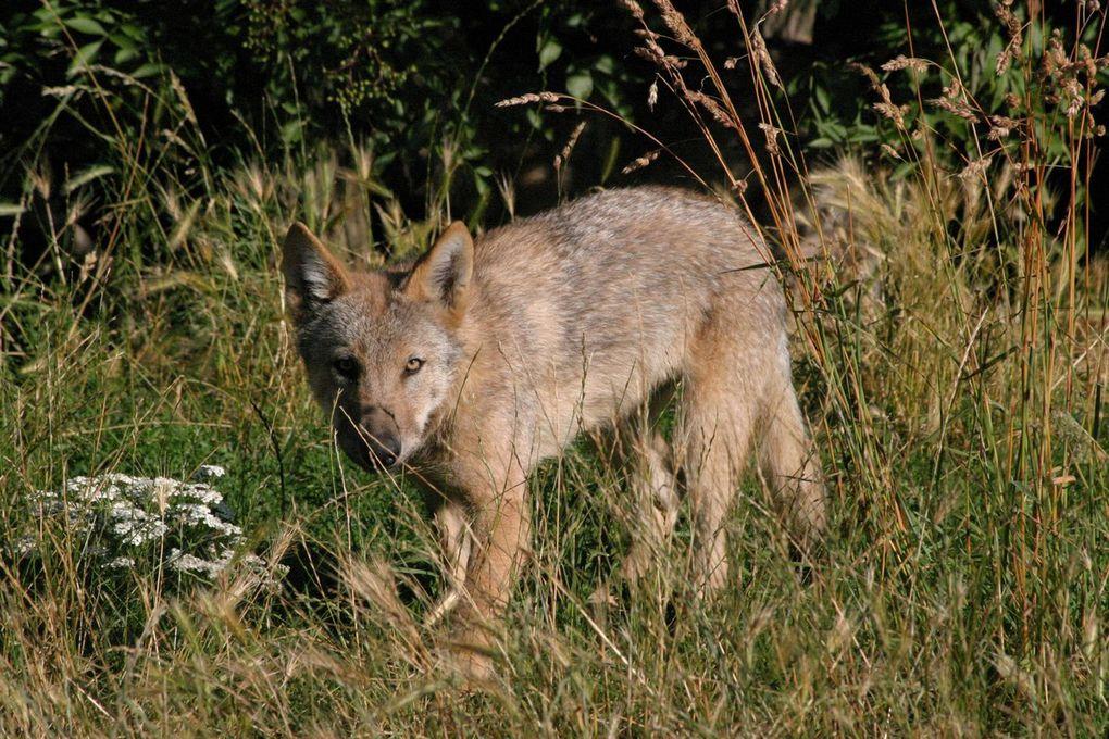 Loup occidentalis -Canada / loup de Pologne / loup arctique / louveteau de Mongolie Photos : A.Prucca Macchi / S.Macchi Parc Les loups du Gévaudan