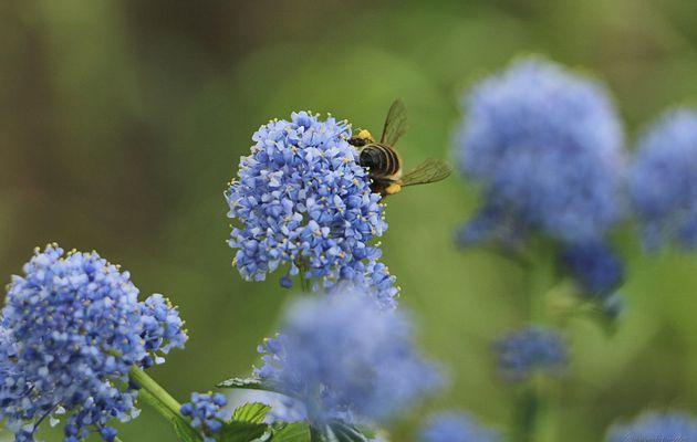 Fleur Bleue, je suis restée..