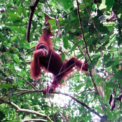 Sumatra : Bukit Lawang