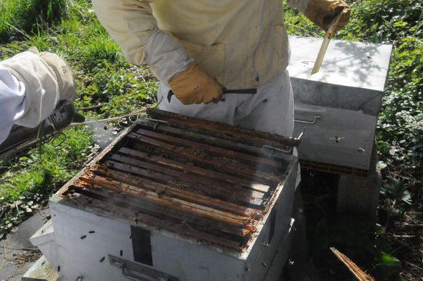 Abeilles, ruchers, ruches, essaims d'abeilles du syndicat apicole du boulonnais et du calaisis de la côte d'opale. Abeilles sur Boulogne-sur-Mer. Abeilles sur Calais. Ruchers sur Boulogne-sur-Mer. Ruchers sur Calais. Essaim d'abeilles sur Boulogne sur Mer. Essaim d'abeilles sur Calais. Rucher à Sangatte. Essaims d'abeilles à Sangatte. Rucher à Hydrequent. Essaim d'abeilles à Hydrequent. Rucher à Alembon. Essaim d'abeilles à Alembon. Essaim d'abeilles Saint Martin Les Boulogne.