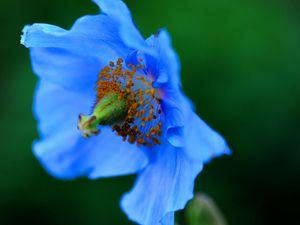 Le pavot bleu
