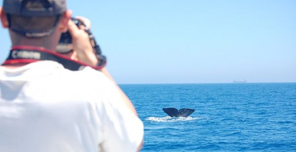 Each year, between April and July, the Strait of Gibraltar becomes a meeting point for dozens of sperm whales. In the midst of intense maritime traffic many of them are struck by the large cargoships with fatal consequences. CIRCE volunteers carried out to sea and documenting the activity of these and other cetaceans to improve their protection more than 15 years.