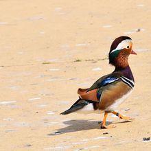 Des canards très colorés au zoo de La Teste...