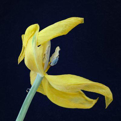 Tulipe jaune