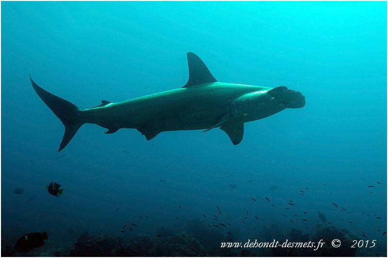 La tête bizarre du requin marteau n'inspire guère confiance. Pourtant ce ne sont pas des animaux très agressifs.
