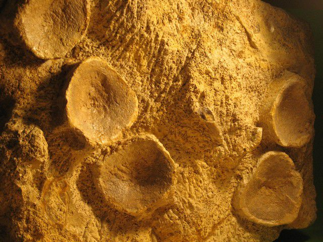 Dents et vertèbres et éléments de vertébrés trouvées dans le Calvados .